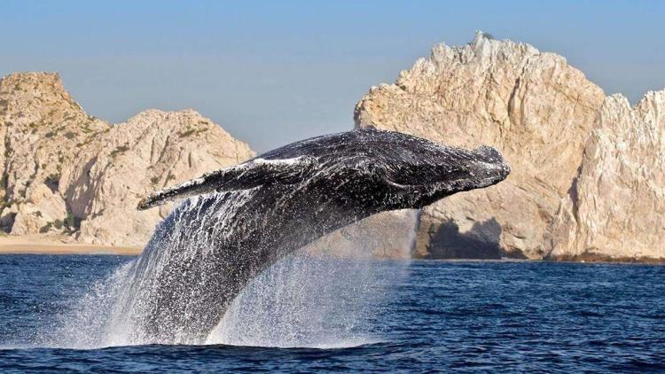 ballenas Navidad en Los Cabos